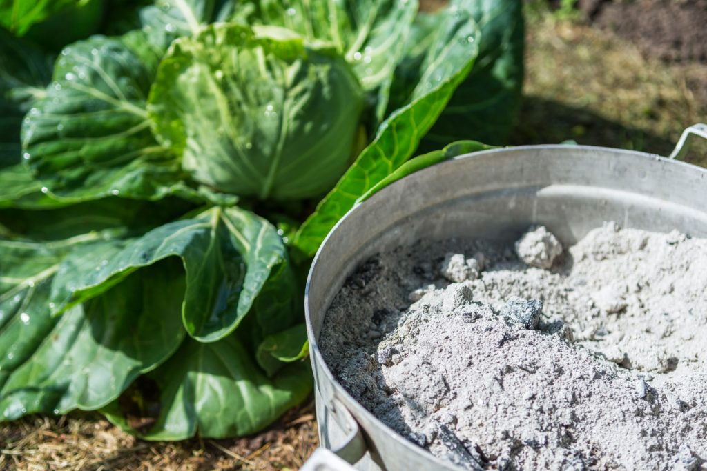 A pot filled with wood ash used in fertilizing cabbages
