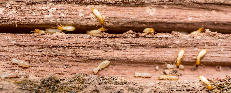 Grunge wood board being eaten by group of termites