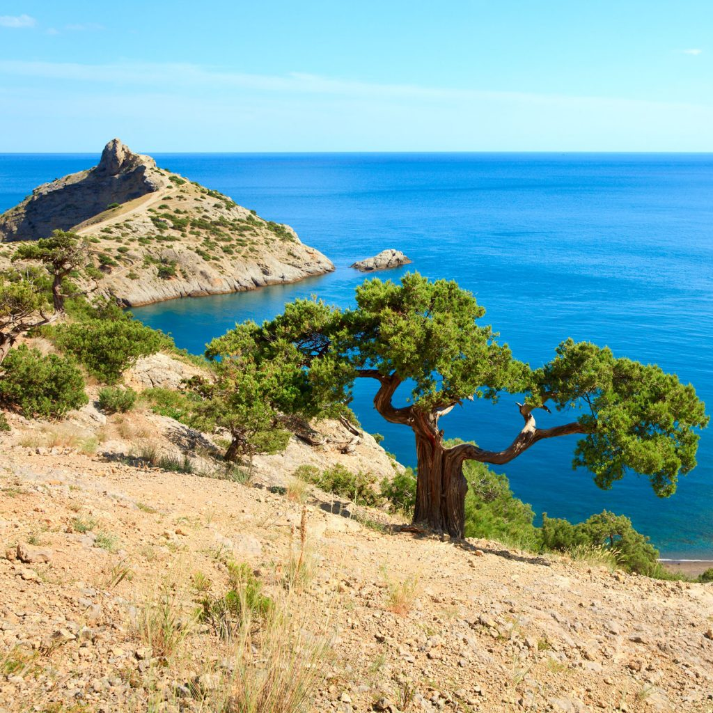 A big Juniper tree photographed on the side of a mountain with a scenic view