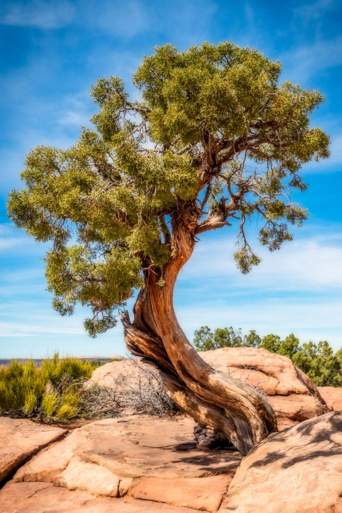 An ancient Juniper tree photographed on a sunny day at an undisclosed location