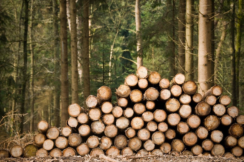 Freshly chopped tree trunks